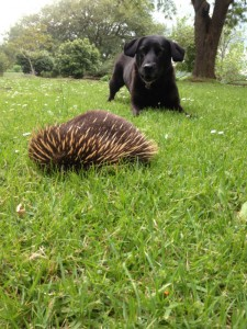 Cilla, greets a spiky visitor on the lawn!